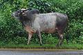 Bull found near Shri Mangueshi temple Goa 2.JPG