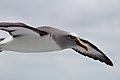 Buller's Albatross (25703168870).jpg