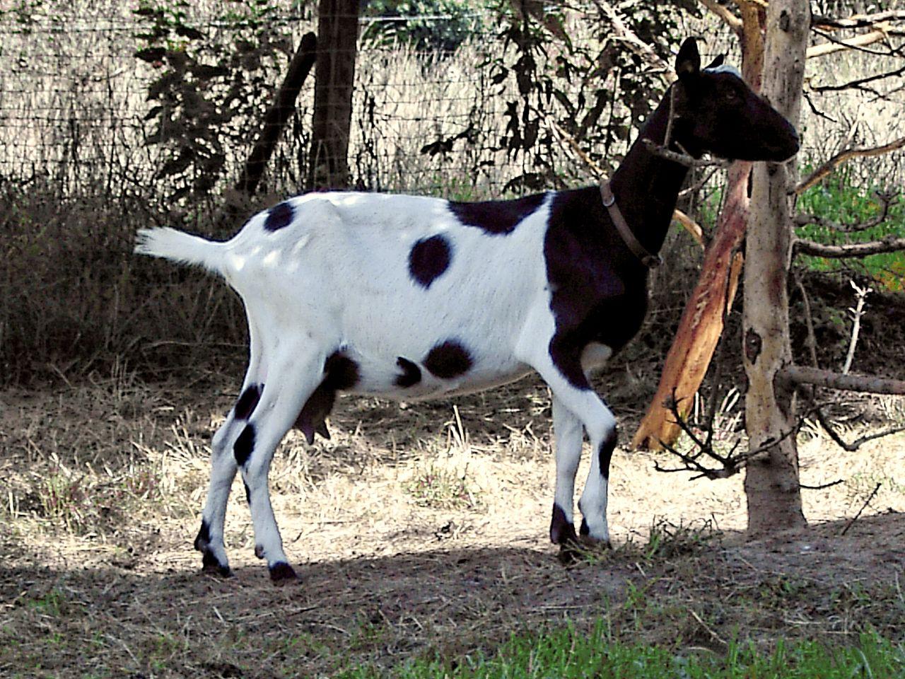 Bunte holländische Ziege (Wikipedia)