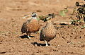 Burchell's sandgrouse, Pterocles burchelli, at Mapungubwe National Park, Limpopo, South Africa (17790772688).jpg