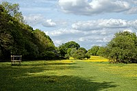 Buttercup sward and grass walk in Hatfield Forest Essex England 2.jpg