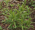 Butterfly Weed Asclepias tuberosa Young Stems 2056px.JPG