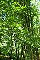 Buxus colchica kz3.jpg