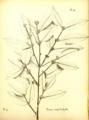 Buxus megistophylla - Hector Léveillé 1918.png