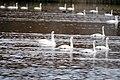 CA Tundra Swans (5352918666) (2).jpg