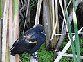 CINLB - 20120916 - Oiseau 03.JPG