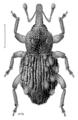 COLE Curculionidae Exeiratus setarius.png