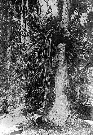 Grammatophyllum - Grammatophyllum speciosum in the Bogor Botanical Gardens in Indonesia