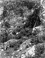 COLLECTIE TROPENMUSEUM Het gewas patchouli boven de grotten bij Sawang Atjeh Noord-Sumatra TMnr 10012293.jpg