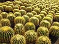 Cactaceae in iran- mahallat city کاکتوس های گلخانه های محلات- ایران 21.jpg