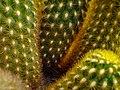 Cactaceae in iran- mahallat city کاکتوس های گلخانه های محلات- ایران 27.jpg
