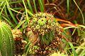 Cactus no Costão do Itacoatiara.jpg