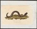 Caecilia bivittata - 1700-1880 - Print - Iconographia Zoologica - Special Collections University of Amsterdam - UBA01 IZ11400217.tif