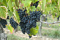 Cahors vineyards grapes luzech october 2009.jpg