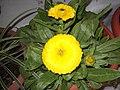 Calendula officinalis-yercaud-salem-India.JPG