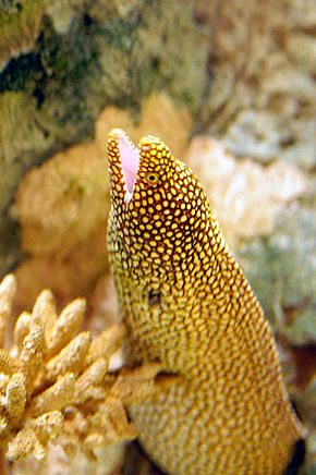 Description de l'image  Image:California Moray.jpg .