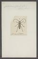 Callichroma - Print - Iconographia Zoologica - Special Collections University of Amsterdam - UBAINV0274 033 18 0014.tif