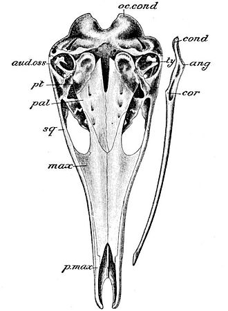 Cambridge Natural History Mammalia Fig 051.jpg