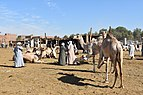 Camel market at Daraw in 2017, photo by Hatem moushir 18.jpg