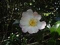 Camellia sasanqua, September.jpg