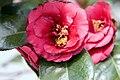Camellia x April Tryst 0zz.jpg