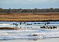 Canada Geese at Necedah National Wildlife Refuge (15191943843).jpg