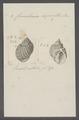 Cancellaria asperella - - Print - Iconographia Zoologica - Special Collections University of Amsterdam - UBAINV0274 084 05 0003.tif