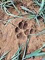 Canidae paw print.jpg