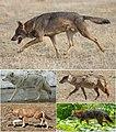 Canis (excluding Lupulella).jpg