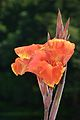 Canna - Indian Botanic Garden - Howrah 2012-09-20 0080.JPG