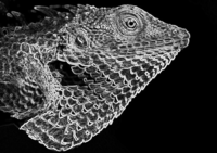 Outlines of a lizard