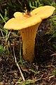 Cantharellus cibarius (38041247066).jpg