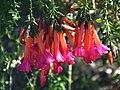 Cantua buxifolia 02.jpg