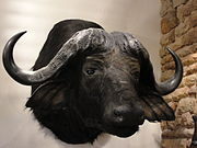 Cape Buffalo Head, Stuffed.JPG