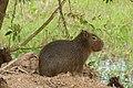 Capybara (Hydrochoerus hydrochaeris) juvenile (28329111314).jpg
