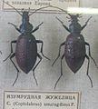 Carabus (Coptolabrus) smaragdinus.JPG