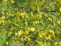 Caragana pygmaea1.jpg