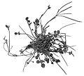 Cardamine corymbosa wurzel.jpg