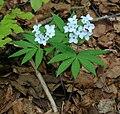 Cardamine heptaphylla 1.jpg