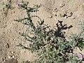 Carduus carpetanus 3.JPG