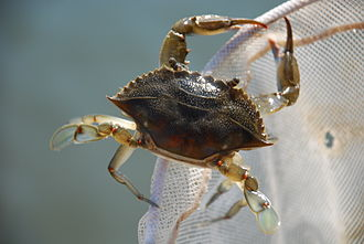 Callinectes sapidus - Blue Crab escaping from the net at Core Banks, North Carolina.