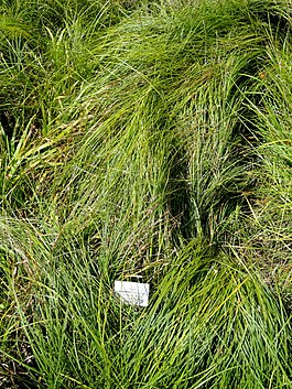 Carex depauperata - Botanical Garden, University of Frankfurt - DSC02725.JPG