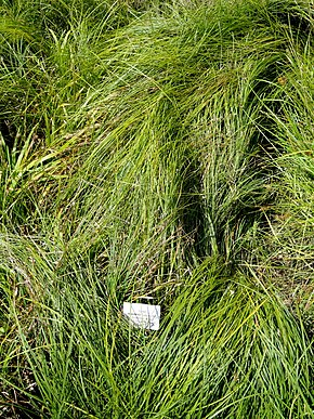 Description de l'image Carex depauperata - Botanical Garden, University of Frankfurt - DSC02725.JPG.