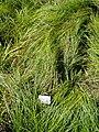 Carex depauperata - Botanical Garden, University of Frankfurt - DSC02725.JPG