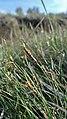 Carex filifolia 1.jpg