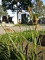 Carex hirta sl1.jpg