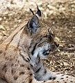 Carpathian Lynx 7 (35175787363).jpg