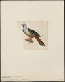 Carpophaga gularis - 1820-1860 - Print - Iconographia Zoologica - Special Collections University of Amsterdam - UBA01 IZ15600117.tif