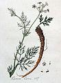 Carum carvi — Flora Batava — Volume v4.jpg