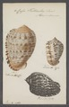 Cassis testiculus - - Print - Iconographia Zoologica - Special Collections University of Amsterdam - UBAINV0274 084 08 0020.tif